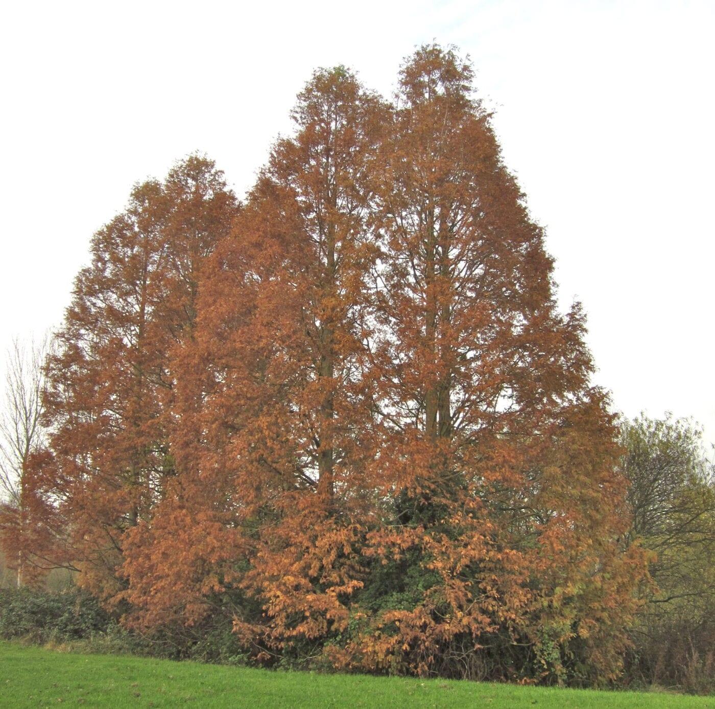 Dawn Redwood trees in November