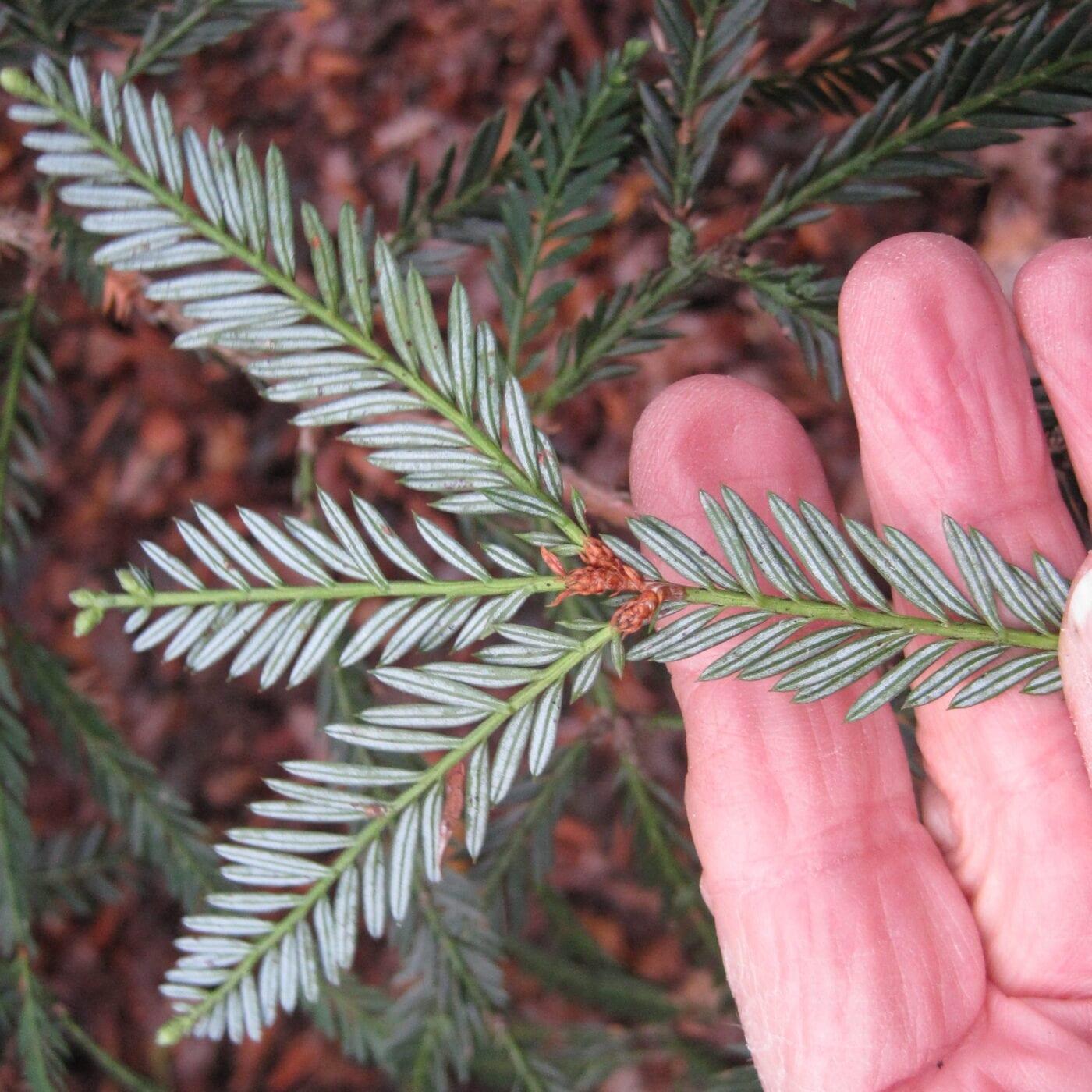 Coast Redwood needles