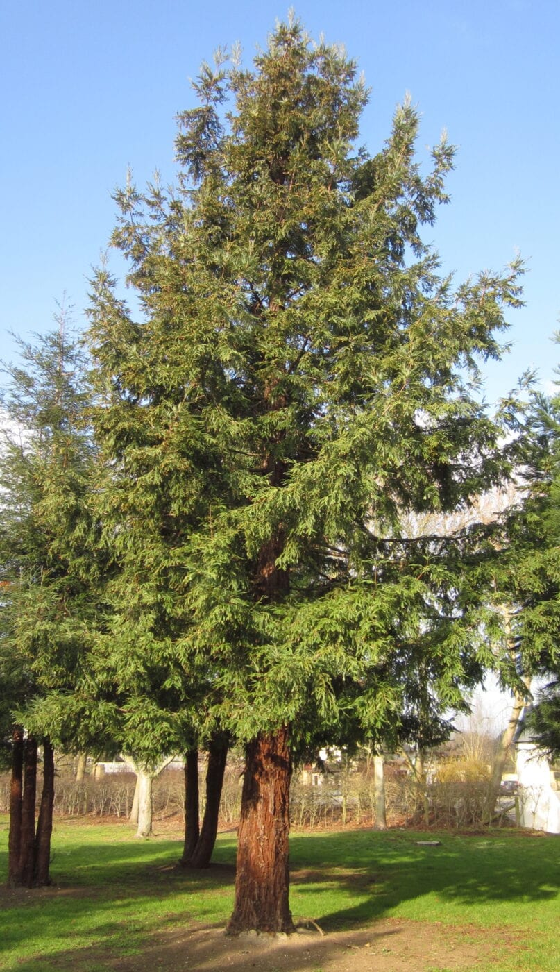 Coast Redwood young tree