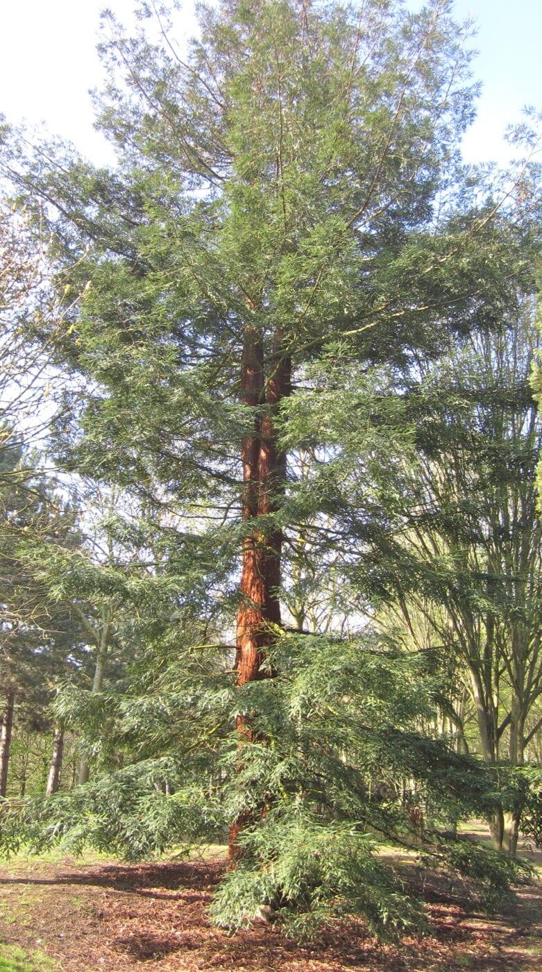 Coast Redwood mature tree