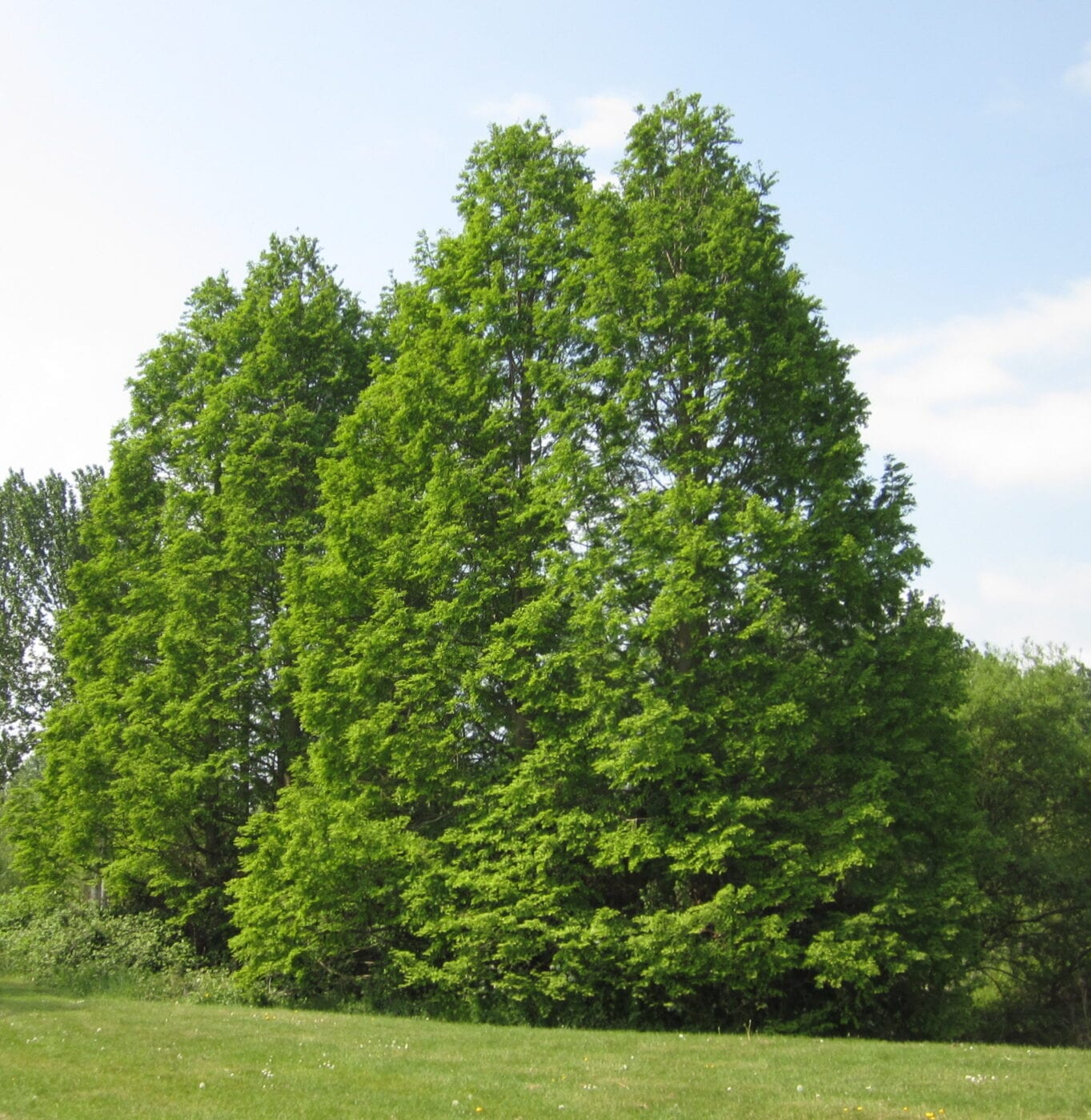 Dawn Redwood trees in summer