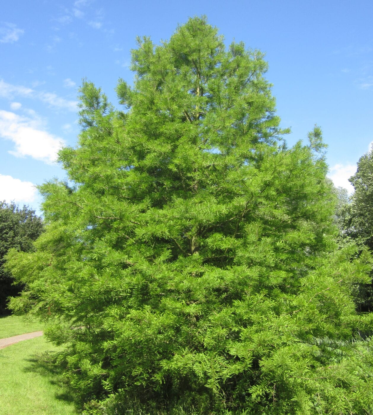 Swamp Cypress in summer