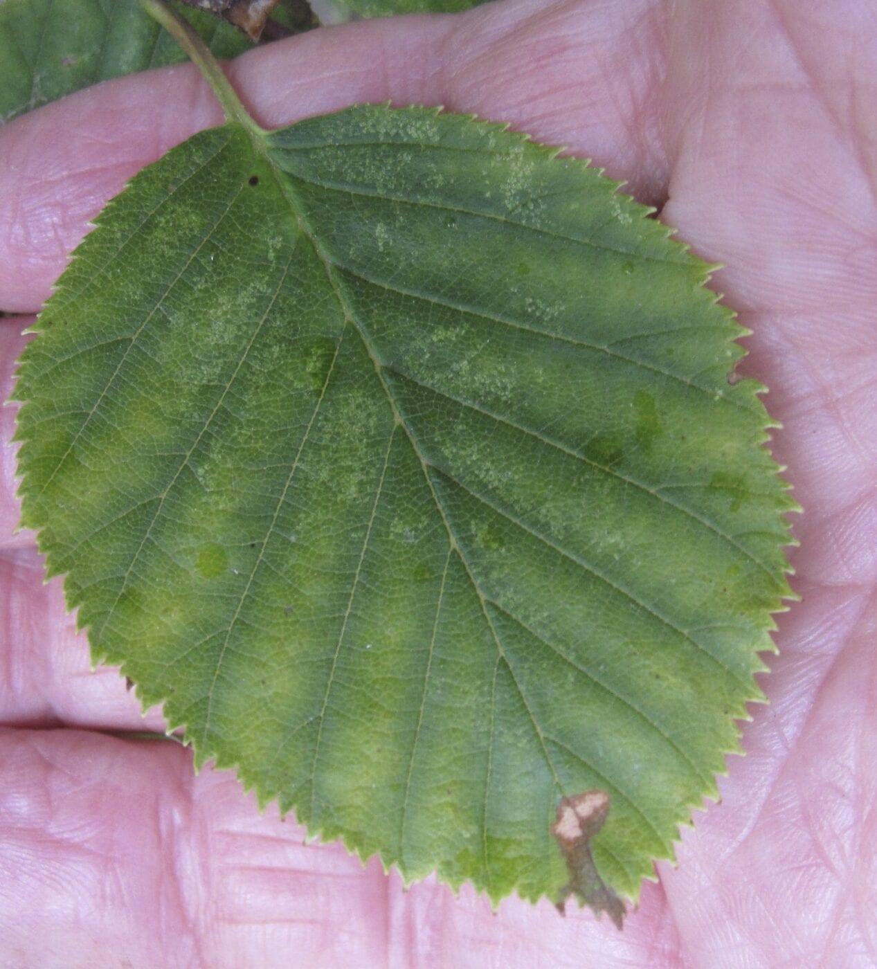 Green Alder leaf