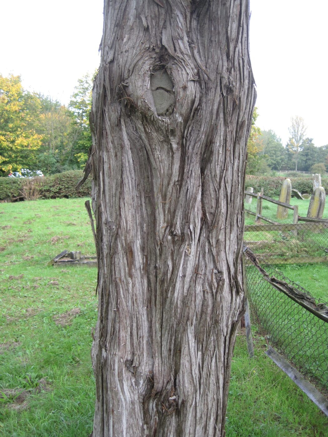 Monterey Cypress bark