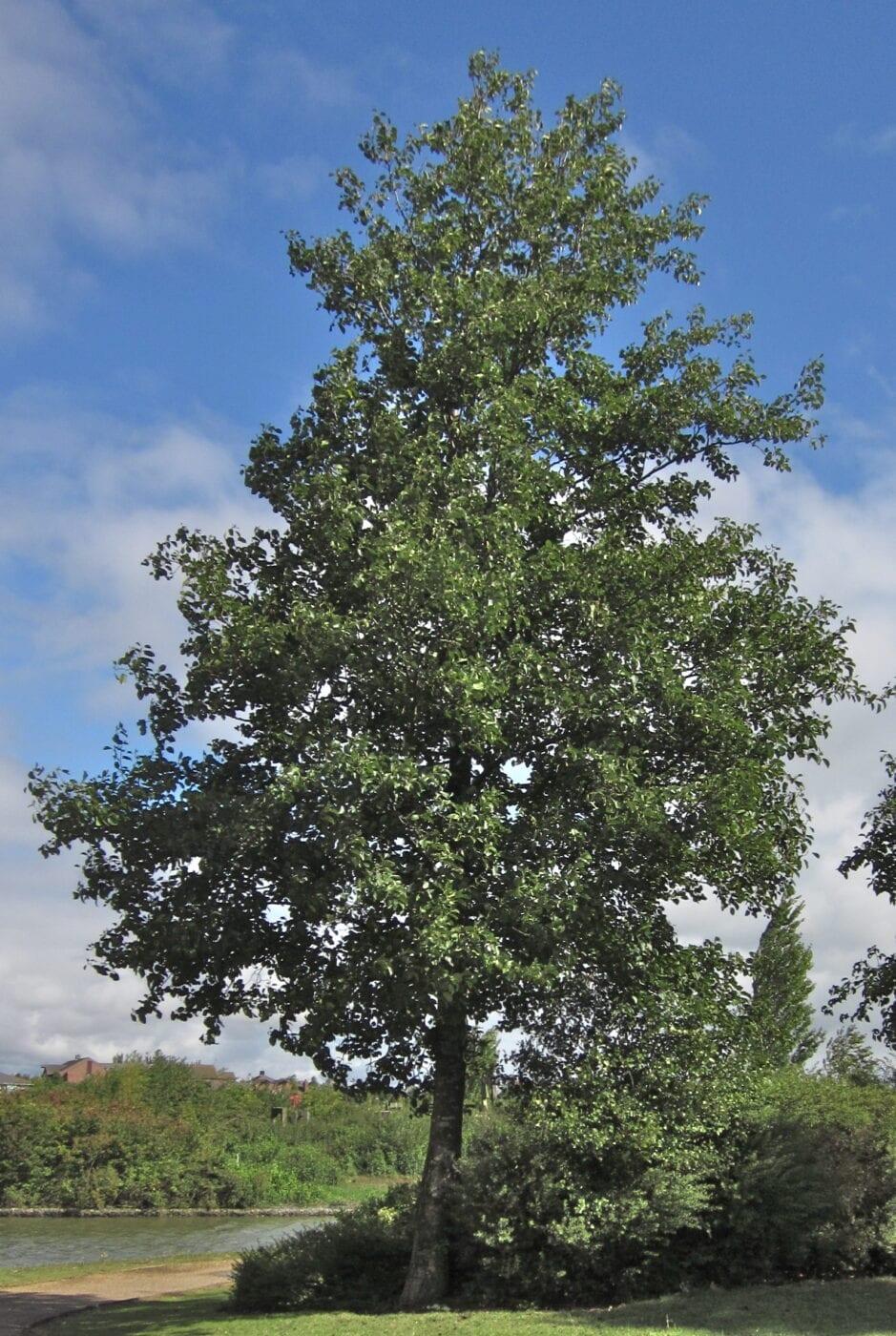 Italian Alder tree