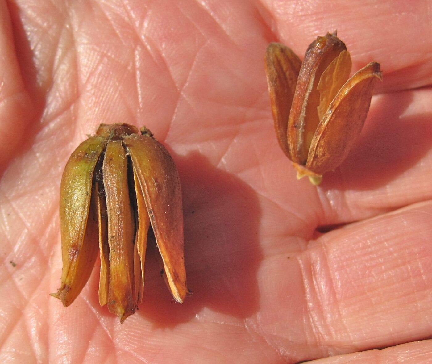 Incense Cedar cones, scales and seeds