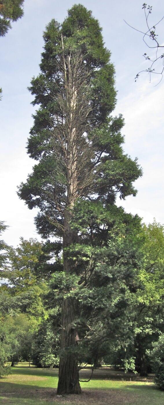 Incense Cedar tree