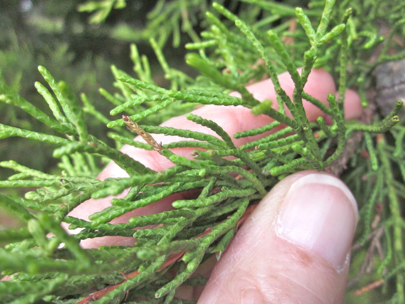 Monterey Cypress shoots