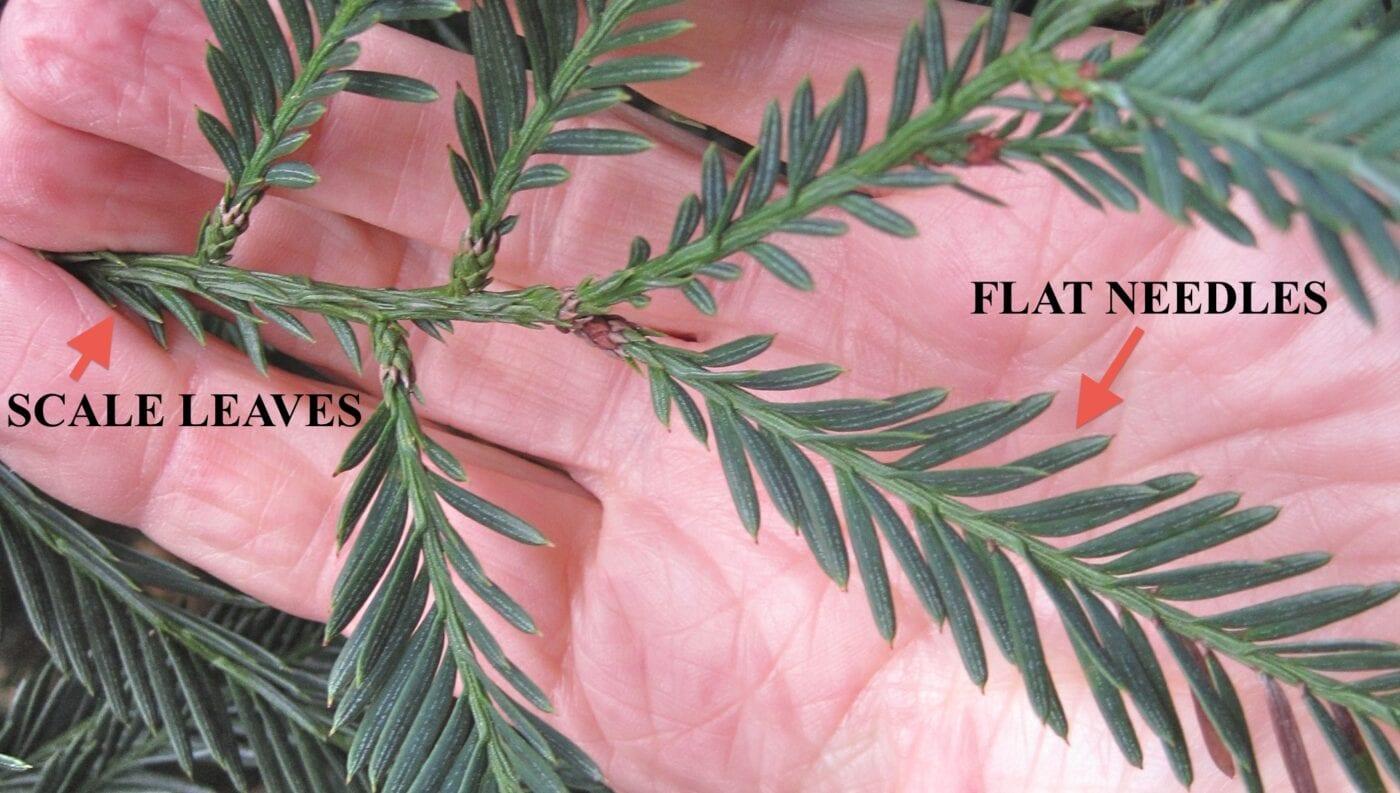 Coast Redwood scale and flat needles