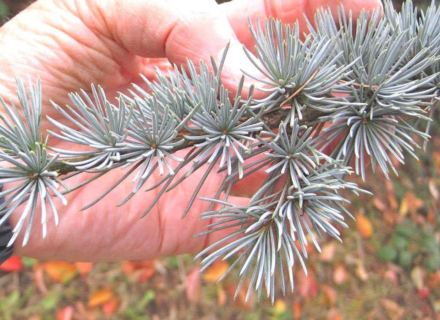 Atlas Cedar needle clusters
