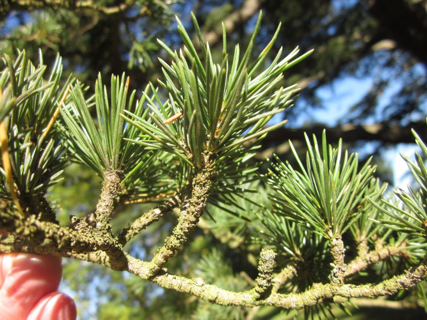 Cedar of Lebanon needle clusters
